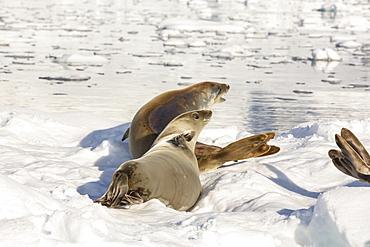 Crabeater Seal, Lobodon carcinophaga on an iceberg in Drygalski Fjord, Antarctica.