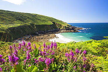 Cornish coastal scenery at Porthmeor Cove near Zennor, UK, with Purple loosestrife (Lythrum salicaria) flowering in the foreground.