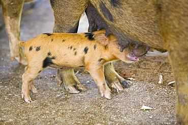 Pigs reared for pork on Funafuti Atoll, Tuvalu, Pacific