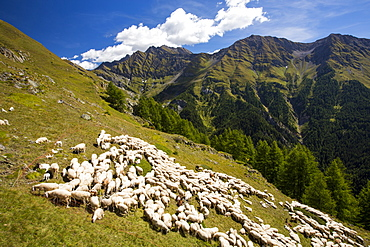 A flock of sheepby the Refuge Bertone, above Courmayeur, Italy.
