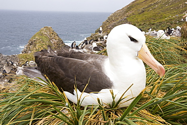 A Black Browed Albatross (Thalassarche melanophris) sitting on a nest in a mixed nesting colony of albatross's and Rockhopper Penguins (Eudyptes chrysocome) on Westpoint island in the Falkland Islands off argentina, in South America. Albatrosses are globally thratened by long line fishing boats who are responsible for killing thousands of birds.