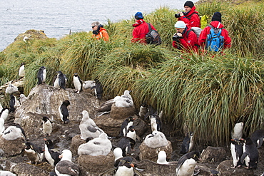 A mixed Black Browed Albatross (Thalassarche melanophris)  and Rockhopper Penguins (Eudyptes chrysocome) nesting colony on Westpoint island in the Falkland Islands off Argentina, in South America, being watched by a group on a wildlife tourist trip.