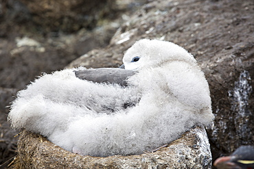 A Black Browed Albatross (Thalassarche melanophris) chick sitting on a nest in a mixed nesting colony of albatross's and Rockhopper Penguins