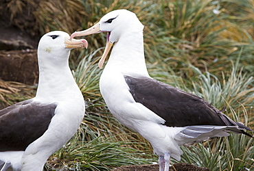 A pair of Black Browed Albatross (Thalassarche melanophris) Allopreening to reinforce the pair bond in a nesting colony on Westpoint island in the Falkland Islands off argentina, in South America. Albatrosses are globally thratened by long line fishing boats who are responsible for killing thousands of birds.