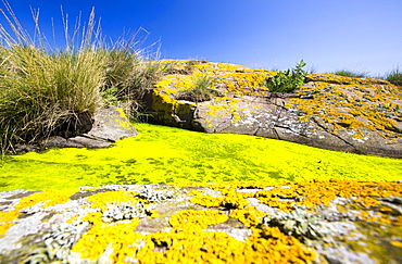 Green algae and yellow lichen on the Farne Islands, Northumberland, UK.