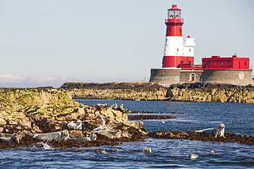 Common Seals, Phoca vitulina, on the Farne Islands, Northumberland, UK, with the Longstone lighthouse that Grace Darling performed her famous rescue from.