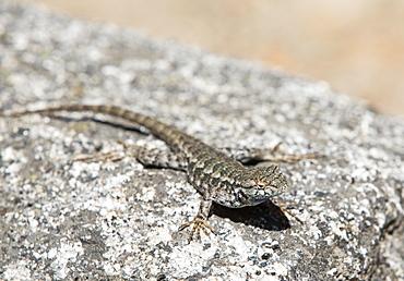 A sagebrush lizard, Sceloporus graciosu basking on a granite rock in Yosemite, California, USA.