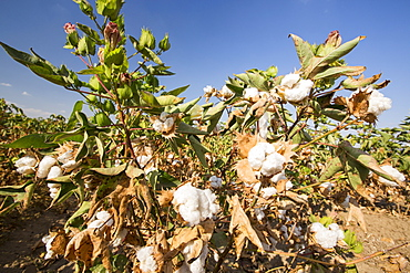 Cotton growing in California's Central Valley, which is in the grip of a four year long drought. The catastrophic drought means that no crops will grow without increasingly scarce irrigation water. Many areas of farmland have been abandoned due to the drought.
