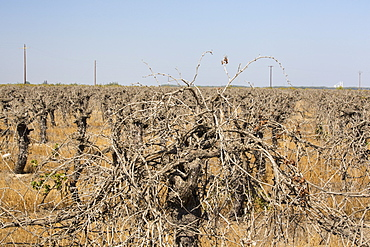 Dead and dying grape vines in Bakersfield, California, USA. Following an unprecedented four year long drought, Bakersfield is now the driest city in the USA. Most of California is in exceptional drought, the highest level of drought classification. 428,000 acres of agricultural land have been taken out of production due to lack of water, thousands of agricultural workers have lost their jobs and one third of all children in California go to bed hungry.