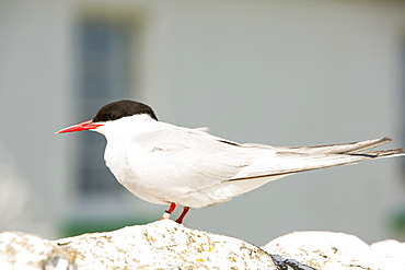 An Arctic Tern, Sterna paradisaea, that has been ringed, on Inner Farne, on the Farnes Islands, off Seahouses in Northumberland, UK.