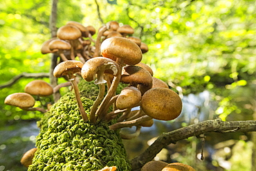 Funghi on an Oak tree branch at Rydal, Lake District, UK.
