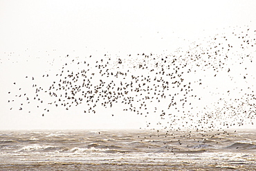 Red Knot, (Calidris canutus) flocking on salt marsh on morecambe Bay, Cumbria, UK, a high tide.