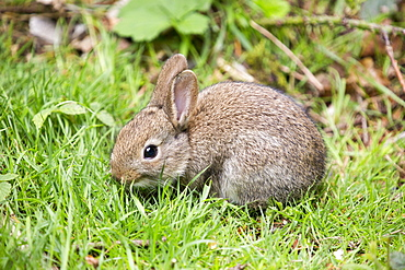 A young Rabbit.