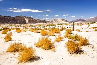Tumbleweed growing in the Mojave Desert in California, USA.