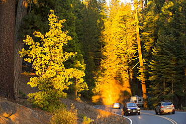 Glowing light at sunset on cars winding through a forest in the Yosemite National Park, California, USA.