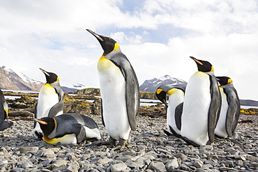 King Penguins on Prion Island, South Georgia, Southern Ocean.