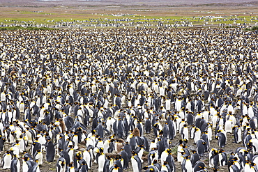 King Penguins in the world's second largest King Penguin colony on Salisbury Plain, South Georgia, Southern Ocean.