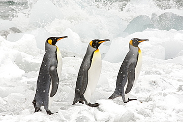 King Penguins head out to sea on a fishing trip past ice at Gold Harbour, South Georgia, Southern Ocean.