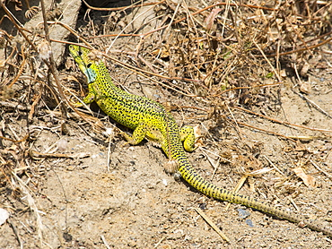 A Sand lizard (Lacerta agilis) in its mating colours on Lesvos, Greece.