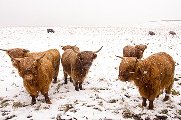Highland cattleon the moors above Settle in the Yorkshire Dales National Park, UK.
