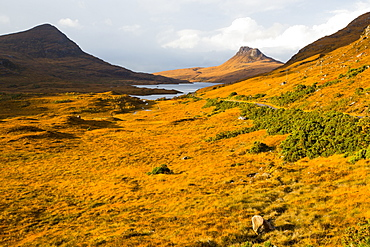 Deer Grass coloured orange in Autumn looking towards Stac Pollaidh, Assynt, North West Highlands, UK.