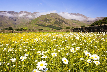 Traditional hay meadows at the head of the Langdale valley, Lake District, UK, are some of the best wild flower hay meadows left in the country. Since the second world war, Britian has lost over 95% of its traditional hay meadows, as farmers have converted to silage.