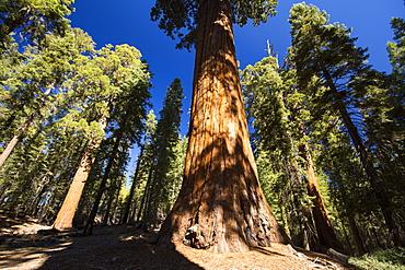 Giant Redwood, or Sequoia, Sequoiadendron giganteum, in Sequoia National Park, California, USA.