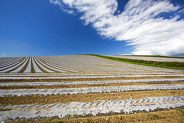 A crop covered in rows of plastic sheeting in a field on the Furnes peninsular, South Cumbria, UK.