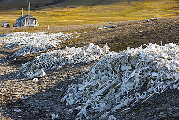 Remains of Beluga Whales (Delphinapterus leucas) at Bourbonhamna (77¬8 33'Äôn 15¬8 00'Äôe) in Van Mijenfjorden, Spitzebergen; Svalbard. This stark reminder of humanity hunted whales to near extinction contains the raimains of over 100 Beluga's