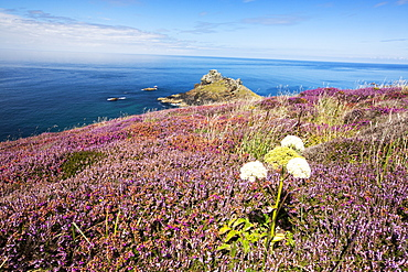 Heather blooming infront of Gurnards Head on Cornwall's North Coast, UK.