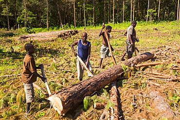Malawi is one of the poorest countries in the world, it has been heavily deforested. The deforestation has been to clear land for an expanding population to have access to land to grow subsistence crops and also to make charcoal, which is the main cooking fuel in Malawi. This shot shows men working barefoot and moving massive tree trunks by hand in a logging camp on the Zomba Plateau.