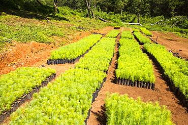 A tree nursery on the Zomba Plateau, Malawi, Africa.