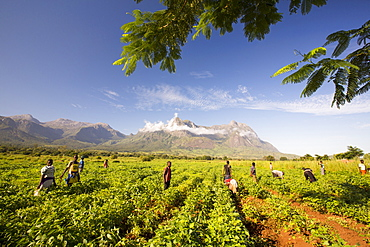 Malawian workers toil in a crop of soay below Mount Mulanje. In this poorest of African countries, many agricultural workers earn less than £1 a day.