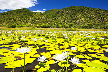 Water lillies flowering at Cape Maclear on Lake Malawi, Malawi, Africa.
