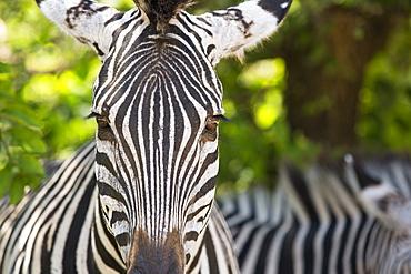 Grant's Zebras in Majete wildlife reserve in the Shire valley, Malawi, Africa.