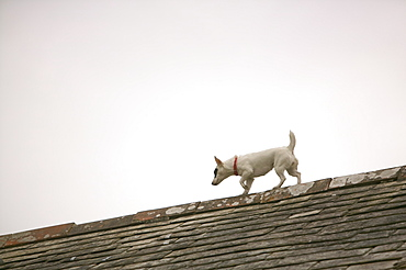 A dog on a house roof in Boscastle, Cornwall, England, United Kingdom, Europe