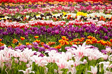 A tulip display at the Eden Project, Cornwall, England, United Kingdom, Europe
