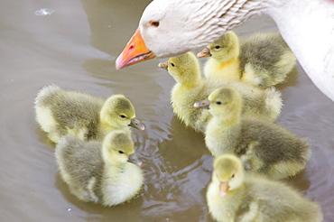 A farmyard goose and goslings, Tewkesbury, Gloucestershire, England, United Kingdom, Europe