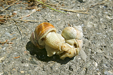 Snails mating, Europe