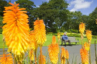 Red hot poker plants in Barrow Park, Cumbria, England, United Kingdom, Europe