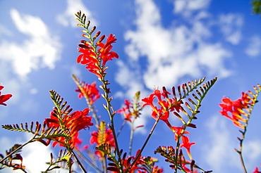 Crocosmia flowers, Holehird Garden, Cumbria, England, United Kingdom, Europe