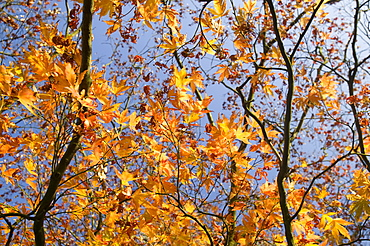 An acer shrub with autumn foliage