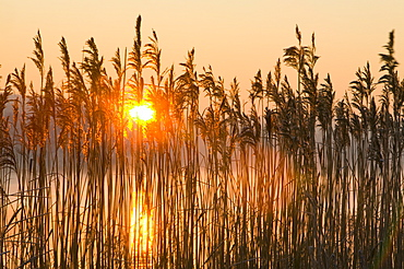 A reed bed at sunrise on the shores of Windermere, Lake District National Park, Cumbria, England, United Kingdom, Europe