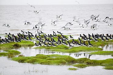 Oystercatchers roosting at high tide at Hest Bank, Morecambe Bay, Lancashire, England, United Kingdom, Europe