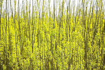 Eon' s biofuel power station surrounded by willow trees planted as a biofuel crop, Lockerbie, Scotland, United Kingdom, Europe