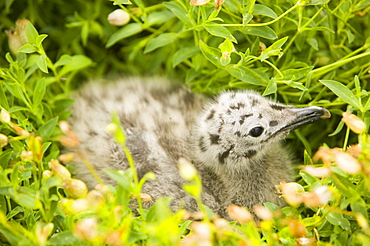 A lesser black backed gull chick at Europes largest Gull Colony of Herring and Lesser Black Backed Gulls on Walney Island near Barrow in Funress, Cumbria, England, United Kingdom, Europe