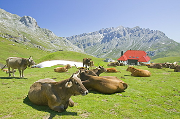 Old hunting lodge in the Picos de Europa mountains below Pena Vieja with cows on their summer high pastures, Spain, Europe