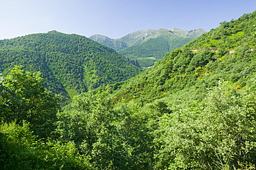 Beech woodland in the Picos de Europa mountains, Northern Spain, Europe