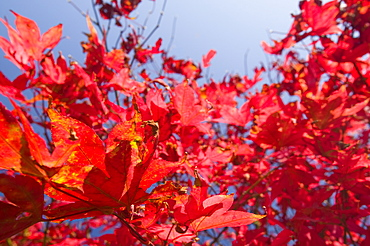 Acer leaves in autumn, Cumbria, England, United Kingdom, Europe