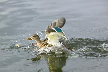 A female mallard taking off, United Kingdom, Europe